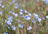 flowers of steppe blue flax (lat. Linum marschallianum), local focus, shallow DOF