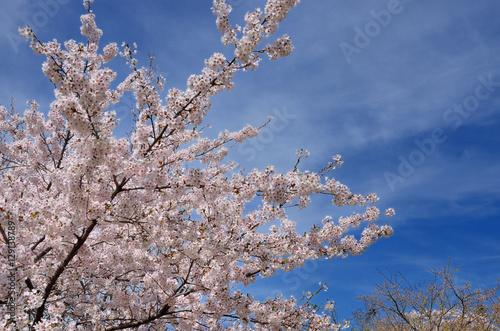 長野 青空と満開の桜の花