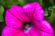 Closeup of the Petunia flower