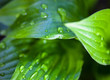 Quadro Green leaves of hosta with dew drops