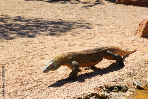 Komodo dragon is seeking for the food