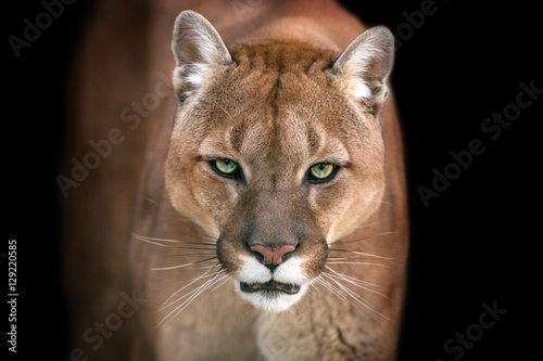 Fotobehang Panter Puma, cougar portrait isolated on black background