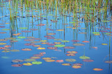 Reeds, reflections and colorful Waterlily pads in a blue pond