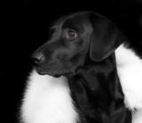 Black labrador retriever on black background.