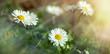 Flowering in meadow - beautiful daisy flowers in spring