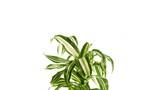 Rotating plant dracaena isolated on white background.