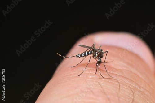 Tiger mosquito (Aedes albopictus) ready for bite human skin