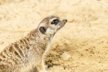 Meerkat. Suricata suricatta.
