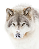 Timber wolf or Grey Wolf (Canis lupus) isolated on white background walking in the winter snow in Canada
