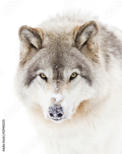 Fotobehang Wolf Timber wolf in winter closeup