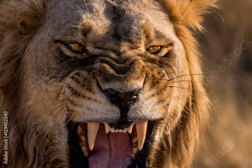 Lion Roar Up Close Poster