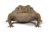 realistic 3d render of toad - bufo bufo