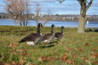 Canada Geese in the park