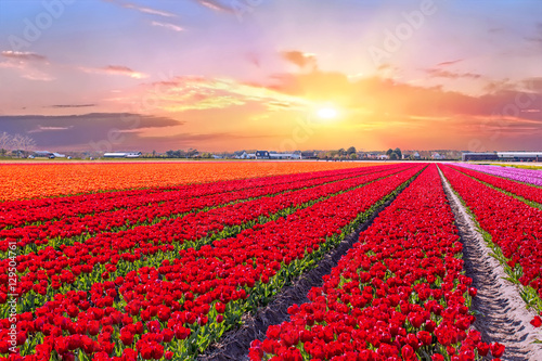 Fotobehang Rood Blossoming tulip fields in a dutch landscape at sunset in the Netherlands