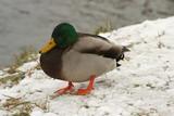 Ducks in the snow 3