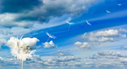 Dandelion flower on sky background.