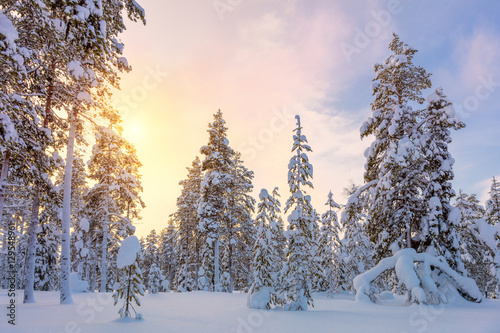 Poster Gentle Winter Sundown - snowy forest landscape with big pine tre