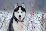 Siberian Husky dog black and white colour in winter - 129581365