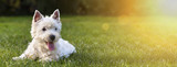 Website banner of a happy dog puppy as lying in the grass - 129584968