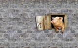 pig looks out from window of shed on the stony wall - 129611725