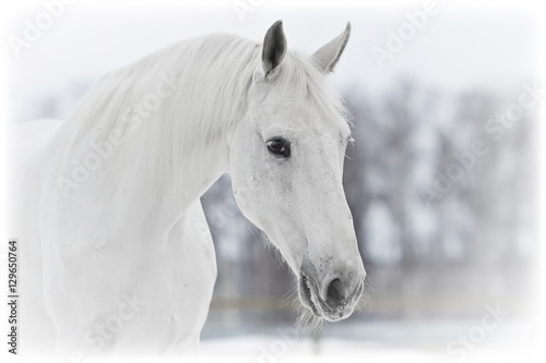 white horse portrait in winter - 129650764