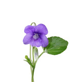 Violette - 129700924