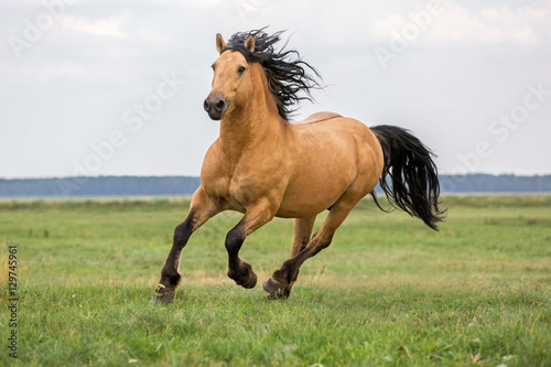 Bay horse running on a meadow. © Osetrik