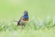 Bluethroat bird display during Spring