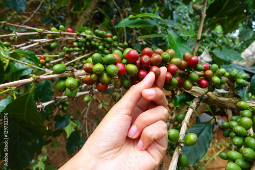 Foto op Canvas Koffie close up hand keep coffee beans for harvesting