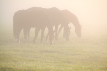 horses graze on pasture in fog