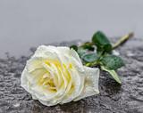 eine auf einem Grabstein niedergelegte gelbe Rose auf gefrohrenem Untergrund zum Ausdruck der Trauer und des Gedenkens mit genügend Textfreiraum