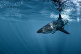 Great White shark in Pacific ocean underwater side view