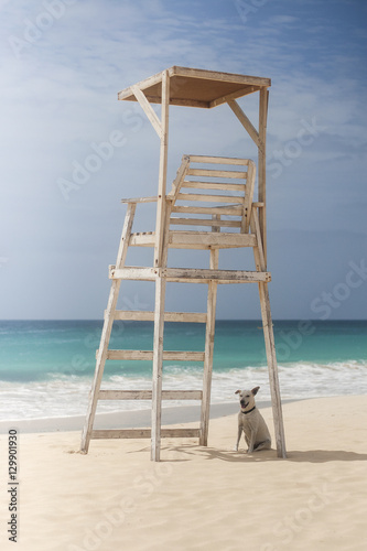 Dog sitting in a shade of lifeguard tower in Cape Verde. Plakat