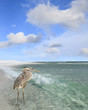 Great Blue Heron Wading in the Gulf of Mexico