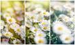 Blooming - flowering spring daisy in meadow