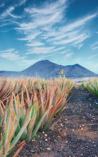Deurstickers Canarische Eilanden Aloe vera plantation at Fuerteventura
