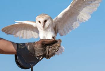 Portrait of a young female barn owl during a falconry training in Dubai, UAE.