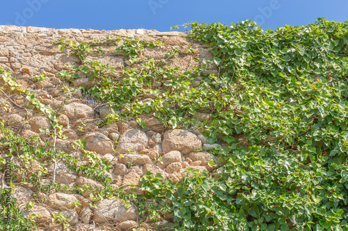 plantes grimpantes sur vieux mur poster sold at europosters. Black Bedroom Furniture Sets. Home Design Ideas