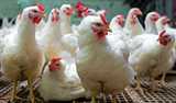 chickens live on the farm