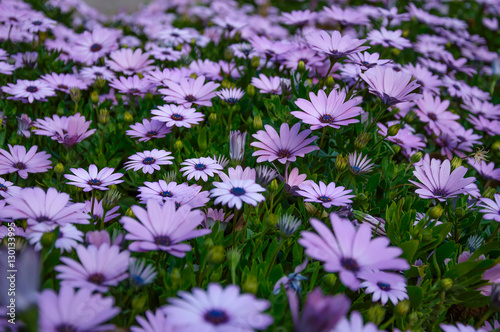 Osteospermum violet daisy flowers as a background