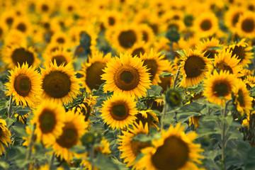 Bright yellow sunflowers in field