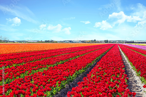 Aluminium Rood Blossoming tulip fields in a dutch landscape in the Netherlands