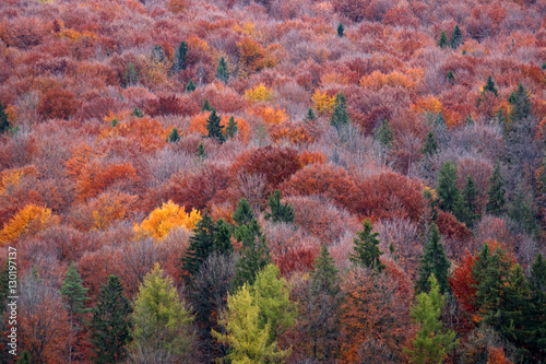 Poster Carpathian forest in autumn