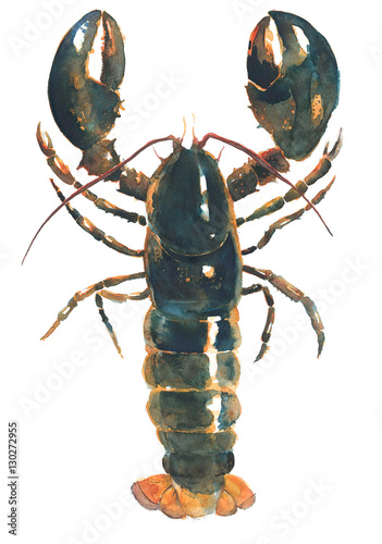 Lobster live lobster watercolor painting illustration isolated on white background - 130272955
