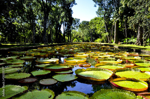 Giant water lilies in Pamplemousses garden, Mauritius Poster