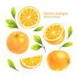 Watercolor vector oranges