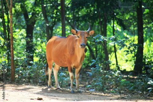 Banteng cow  / Bos javanicus Poster