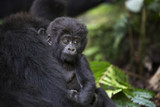 Portrait of wild free baby mountain gorilla - 130410509
