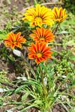 Gazania (lat. Gazania hybrida), or African Daisy in the flowerbed