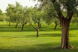 Albero di ulivo nel prato verde